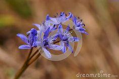 wild-blue-flower-wo-leafed-squill-scilla-bifolia