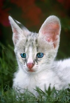 white savannah cat  Animals  Pinterest  Cats Savannah cats and