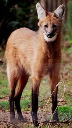 The Maned Wolf, native to South America is actually the only known surviving member of the Chrysocyon genus and is not closely related to any living canid.