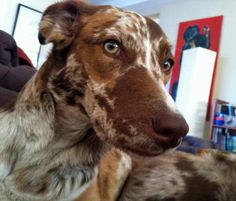 Ruby the Catahoula Mix