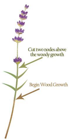 Cutting lavender