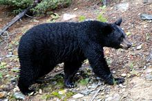 American black bears are not closely related to brown bears and polar bears