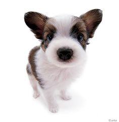 "Artlist Collection THE DOG (Papillon) — Marie Antoinette's dog was a Papillon ""coco""."
