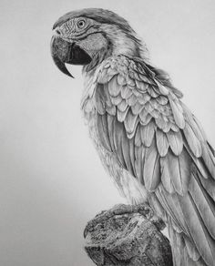 parrot drawing by monica lee