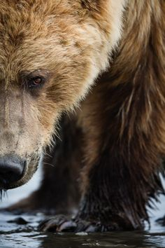 radivs: 'Grizzly Close-up' by Brice Petit - misty morning me