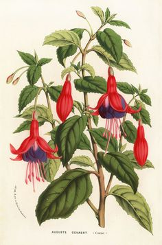 Fuchsias Auguste Gevaert by Louis van Houtte Flore des Serres, 1858 Vintage Botanical Prints, Botanical Drawings, Antique Prints, Botanical Art, Botanical Illustration, Illustration Art, Illustrations, Art Floral, Flower Prints