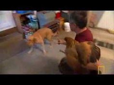 Dog training with a chicken - reducing prey drive