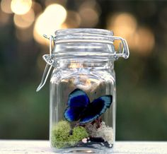 Terrarium Kit Real Butterfly in Glass Jar by TheAmateurNaturalist, $22.00