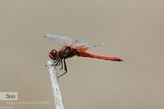 Dragonfly by dinacorreia. Please Like http://fb.me/go4photos and Follow @go4fotos Thank You. :-)