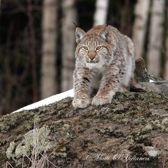 Wildlife in the Finnish woods. Chief Seattle, Lynx, Finland, Panther, Wildlife, Cats, Woods, Nature, Animals
