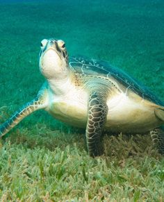 Green sea turtle? Lol I love this picture because you can't tell it's underwater I t looks like a regular turtle just walking about the grass