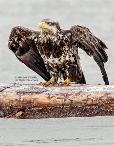 Young Bald Eagle perched on the beach in the Pacific Northwest  US - via Sharon Landis