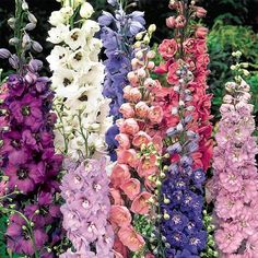 Perfect as a floral backdrop, tall, dignified delphiniums bloom in rich shades ranging from rosy-pink to blue and purple. Loaded with dozens of fluttery flowers, each tall spire adds to the vertical interest of your perennial garden. Delphinium Flowers, Flowers Perennials, Planting Flowers, Delphiniums, Purple Perrenial Flowers, Tall Perennial Flowers, Multi Colored Flowers, Colorful Flowers, Tropical Flowers