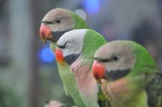 """Bird contes """"Trisome""""."""