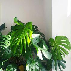 Welcome to the jungle #monsteradeliciosa #plantsofinstagram #urbanjungle