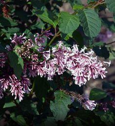 Hungarian Lilac—Syringa josikaea  VERY LARGE LEAVES