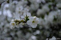 Cherry tree blossoms, ** photos by Zulma **, 04/04/14, * Zulma Mace * Aviano Italy