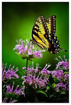Yellow tiger swallowtail by Jonathan Robson