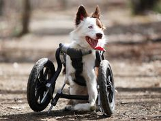 Roosevelt the border collie has a new deal (on two wheels)