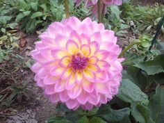 Another of my Dahlia's