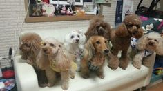 with friends  I'm HAPPY poodle