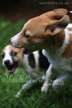 Foxy and Flea running around in their youth at High Rocks. Freedom like a puppy. South African Artists, Run Around, Fleas, Underwater, Corgi, Creatures, Horses, Puppies, Fine Art