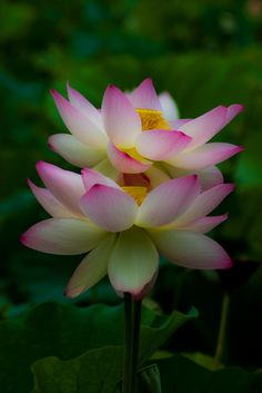 https://flic.kr/p/6PmfX2 | Double Lotus | Kenilworth Aquatic Gardens in Washington, DC USA