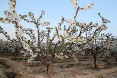 Cerezos en flor en Milagro (Navarra)