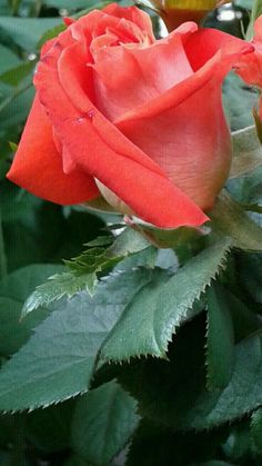My daughter loved the song the rose laurie loved roses pinterest photo mightylinksfo Images