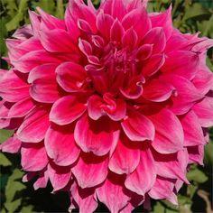 Esta fantástica y colorida flor llenará tu jardín justo en la época en que suele necesitar más color. Su floración se produce desde mediados de verano y se alarga hasta la llegada de las primeras h…