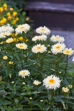 Leucanthemum (Shasta Daisy): Flowers begin to appear in late spring and continue… - Modern Deer Resistant Perennials, Inexpensive Landscaping, Garden Plants, Flower Gardening, Balloon Flowers, Plant Species, Private Garden, Colorful Garden, Delphinium