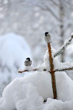 Snowy chickadees.....
