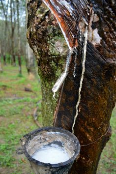 Sniffing Out the Rubber Plantations on Koh Yao Noi - Rant & Roam Rubber Tree, Natural Rubber, Thailand Travel, Latex, Weird, Textiles, Camping, Gardening, Outdoor Decor