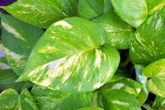 Do you have a Pothos vine? Check out this post on Pothos Vine Care and learn about light requirements, water requirements, and overall Pothos care tips! Small Indoor Plants, Cool Plants, Live Plants, Plante Pothos, Plants With Colorful Leaves, Pathos Plant, Golden Pothos Plant, Pothos Vine, Plantas Indoor