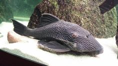 Royal Pleco l27