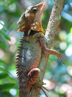 Boyd's Forest Dragon (Hypsilurus boydii), spotted by Annemaree Haley in Daintree National Park, Queensland, Australia