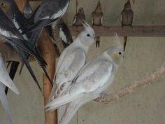 Silver cockatiels Farm Animals, Animals And Pets, Cute Animals, Parakeets, Cockatiel, Love Birds, Beautiful Birds, Colorful Parrots, Just For Fun