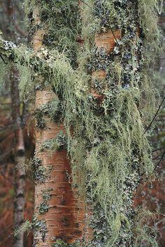 Lichen on silver birch trunk,  caledonian forest, scotland