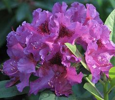 Rhododendron 'Dorothy Amateis'