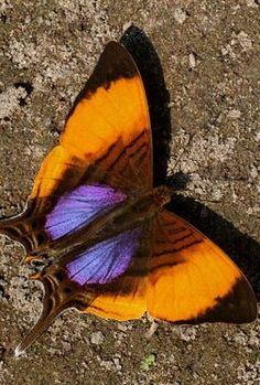 Butterfly with two purple spots and orange on the sides. It is so cute.