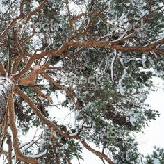 【svphilon】さんのInstagramをピンしています。 《Pine in the winter forest. http://www.istockphoto.com/gb/photo/pine-in-the-winter-forest-gm636253032-112770241 #istockphoto #istock #pine #trees #forest #winter #nature #자연 #숲 #森林 #自然 #طبيعة #غابة》