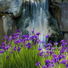 Waterfall Iris