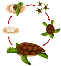 Life cycle of turtle Royalty Free Vector Image Work Activities, Preschool Activities, Turtle Life Cycle, Cute Turtle Cartoon, Fun Worksheets For Kids, Sea Turtle Art, Colorful Animals, Montessori Materials, Universe Art