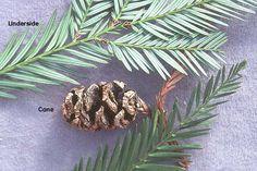 Sequoia sempervirens | Landscape Plants | Oregon State University