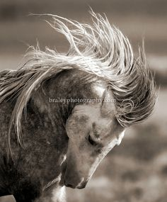A wild horse's mane flies as it rears its head at a watering hole in central Utah, July 25, 2009. With wide expanses of public land, Utah sustains some of the largest herds of wild horses in the western U.S. Photo by Colin E. Braley/Wild West Art & Media