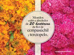 Morelos cultiva alrededor de 20 hectáreas de flor de cempasúchil y terciopelo. SAGARPA SAGARPAMX #SomosProductores