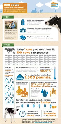 """Fun facts about dairy cows.  And I want to make a slight """"correction,"""" cattle only have one true stomach, but four compartments. I think they just write stomach here for the simplicity of things."""