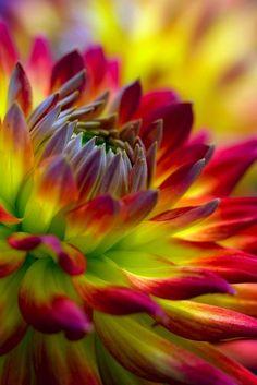 Stunning Dahlia Flower