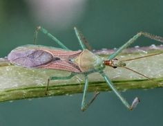 Assassin bug (insect family Reduviidae)