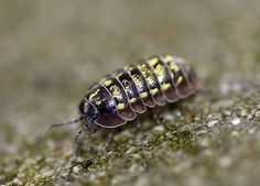 ''Armadillidium vulgare'', the  pill-bug,  pill woodlouse, rolly polly or potato bug, is a widespread European species of woodlouse. It is the most extensively investigated terrestrial isopod species.